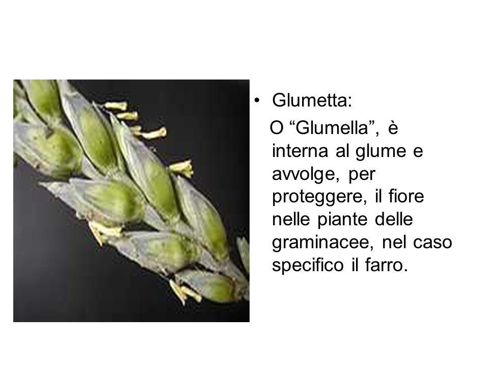 Glumetta: O Glumella , è interna al glume e avvolge, per proteggere, il fiore nelle piante delle graminacee, nel caso specifico il farro.