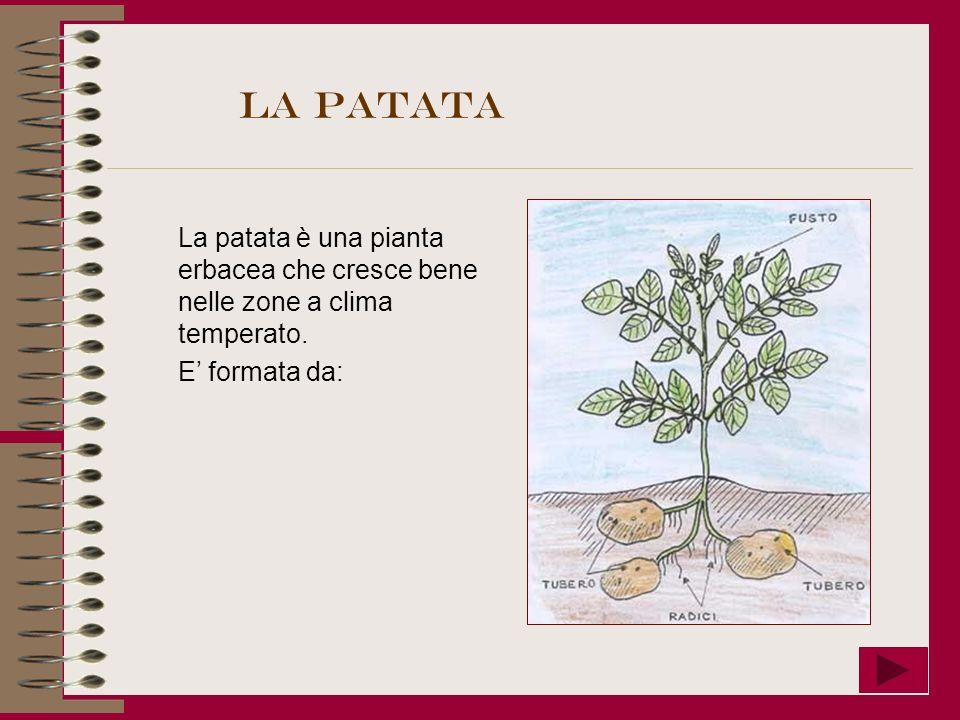 La patata La patata è una pianta erbacea che cresce bene nelle zone a clima temperato.