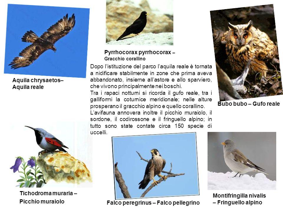 Pyrrhocorax pyrrhocorax – Gracchio corallino