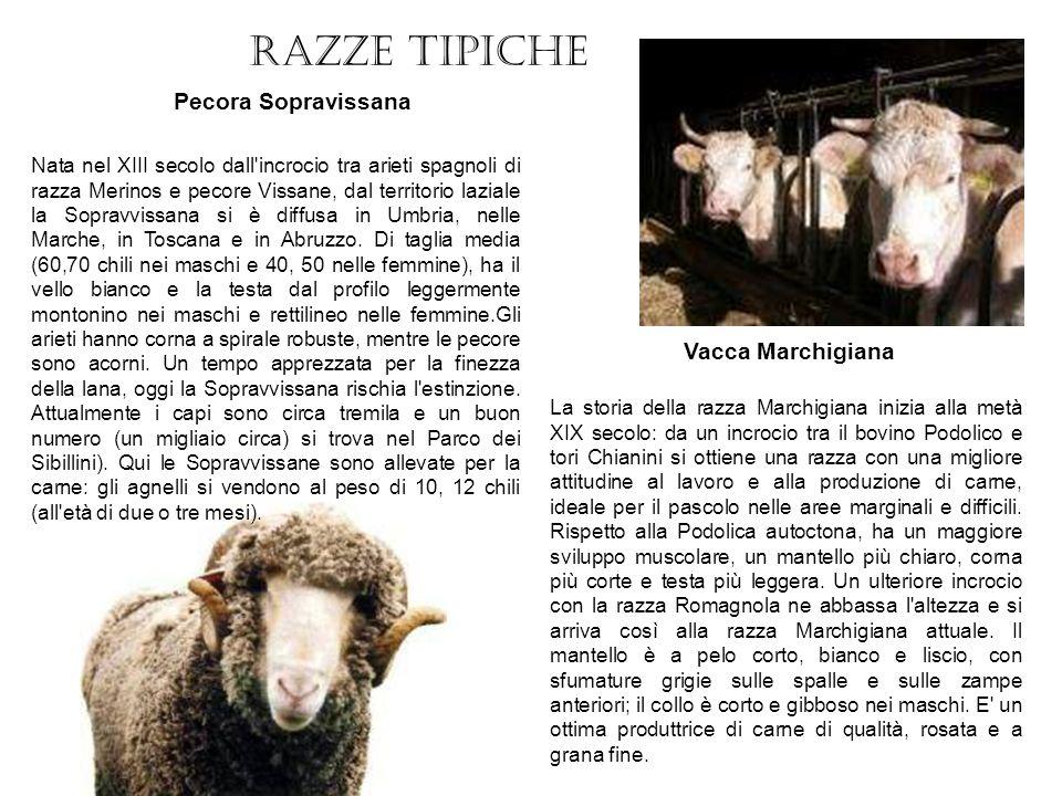 Razze tipiche Pecora Sopravissana Vacca Marchigiana