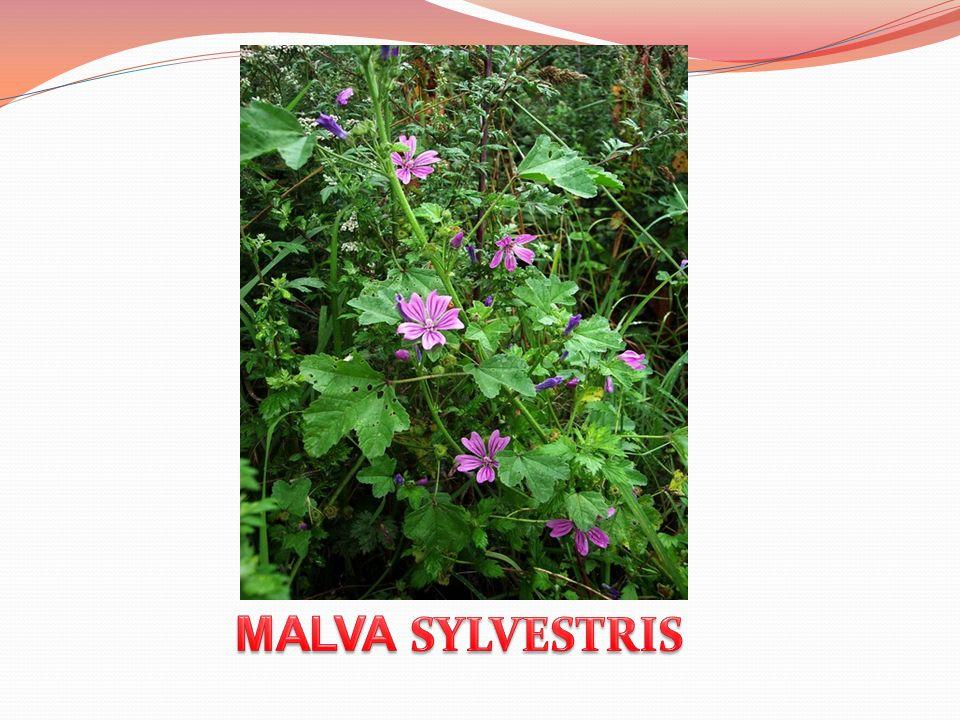 MALVA SYLVESTRIS