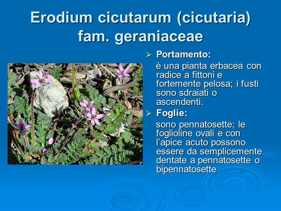Erodium cicutarum (cicutaria) fam. geraniaceae