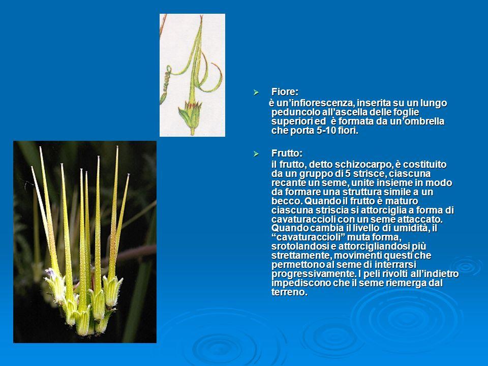 Fiore: è un'infiorescenza, inserita su un lungo peduncolo all'ascella delle foglie superiori ed è formata da un'ombrella che porta 5-10 fiori.