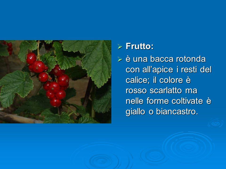 Frutto: è una bacca rotonda con all'apice i resti del calice; il colore è rosso scarlatto ma nelle forme coltivate è giallo o biancastro.