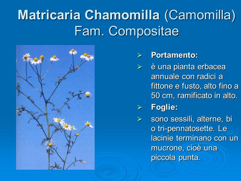 Matricaria Chamomilla (Camomilla) Fam. Compositae