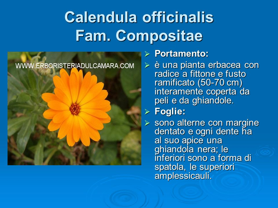 Calendula officinalis Fam. Compositae