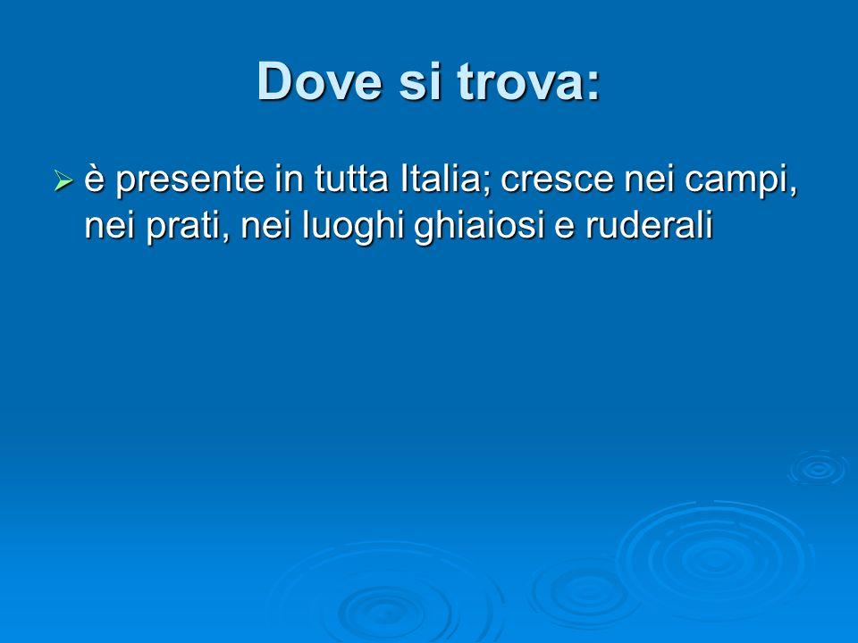 Dove si trova: è presente in tutta Italia; cresce nei campi, nei prati, nei luoghi ghiaiosi e ruderali.