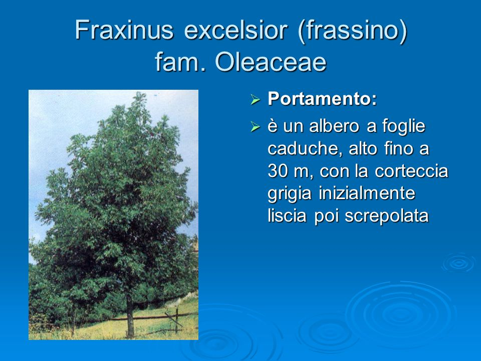 Fraxinus excelsior (frassino) fam. Oleaceae