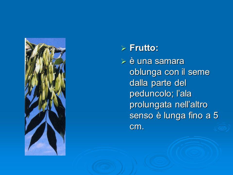 Frutto: è una samara oblunga con il seme dalla parte del peduncolo; l'ala prolungata nell'altro senso è lunga fino a 5 cm.