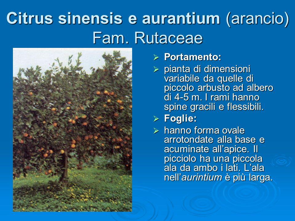Citrus sinensis e aurantium (arancio) Fam. Rutaceae
