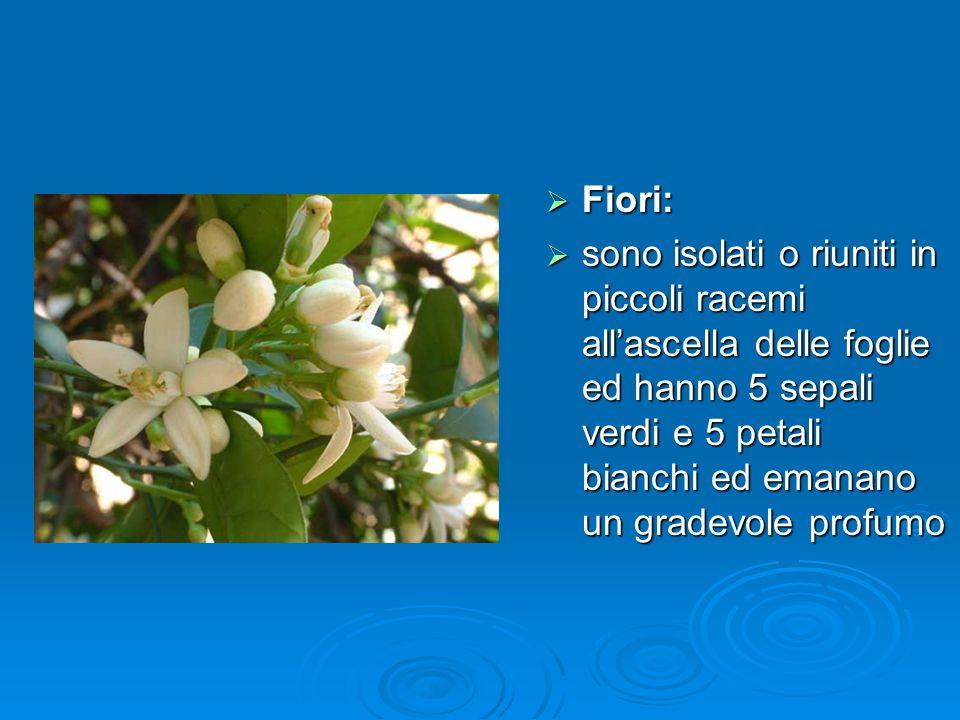 Fiori: sono isolati o riuniti in piccoli racemi all'ascella delle foglie ed hanno 5 sepali verdi e 5 petali bianchi ed emanano un gradevole profumo.