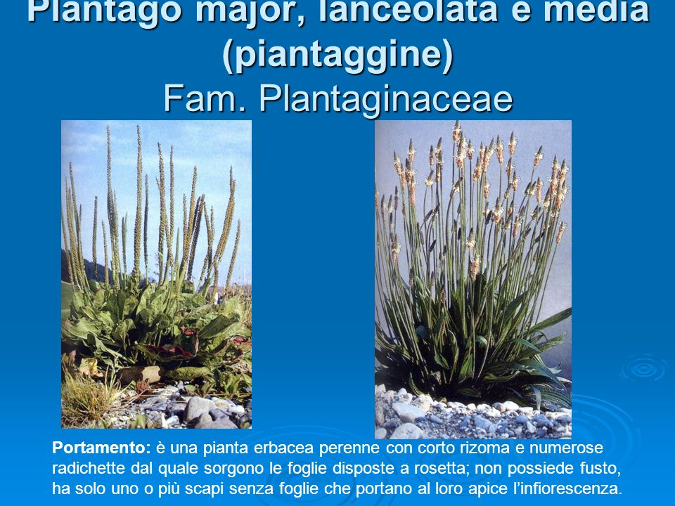 Plantago major, lanceolata e media (piantaggine) Fam. Plantaginaceae