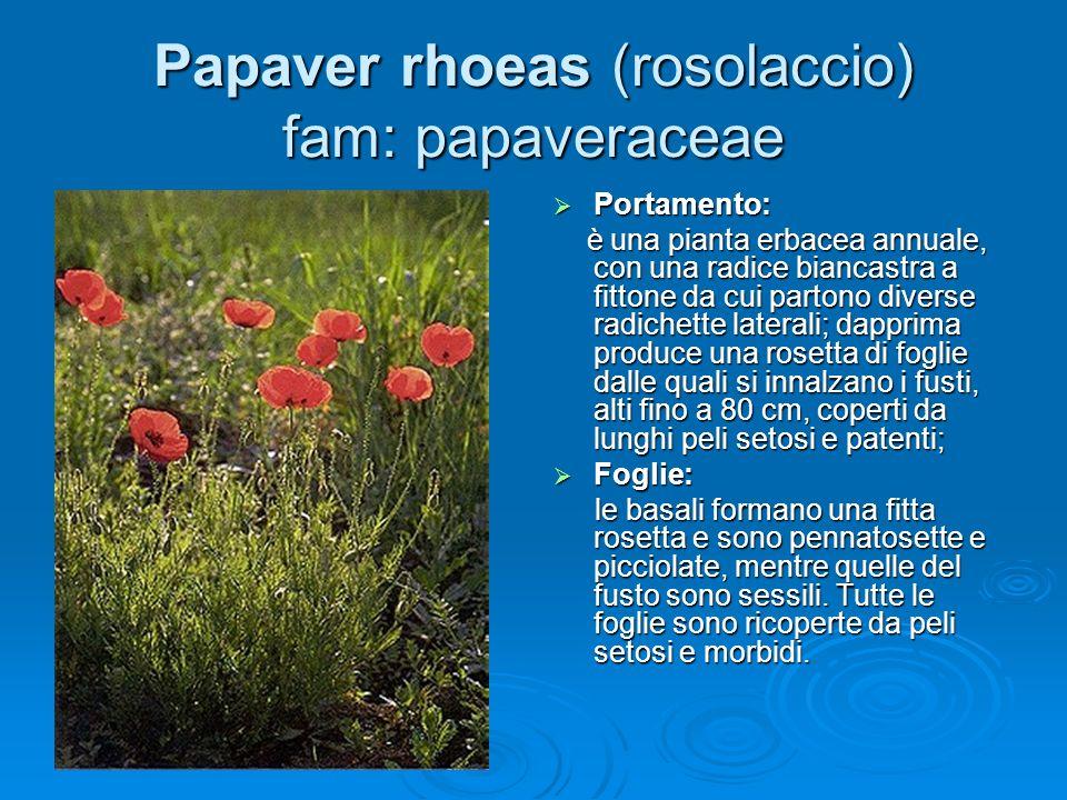 Papaver rhoeas (rosolaccio) fam: papaveraceae