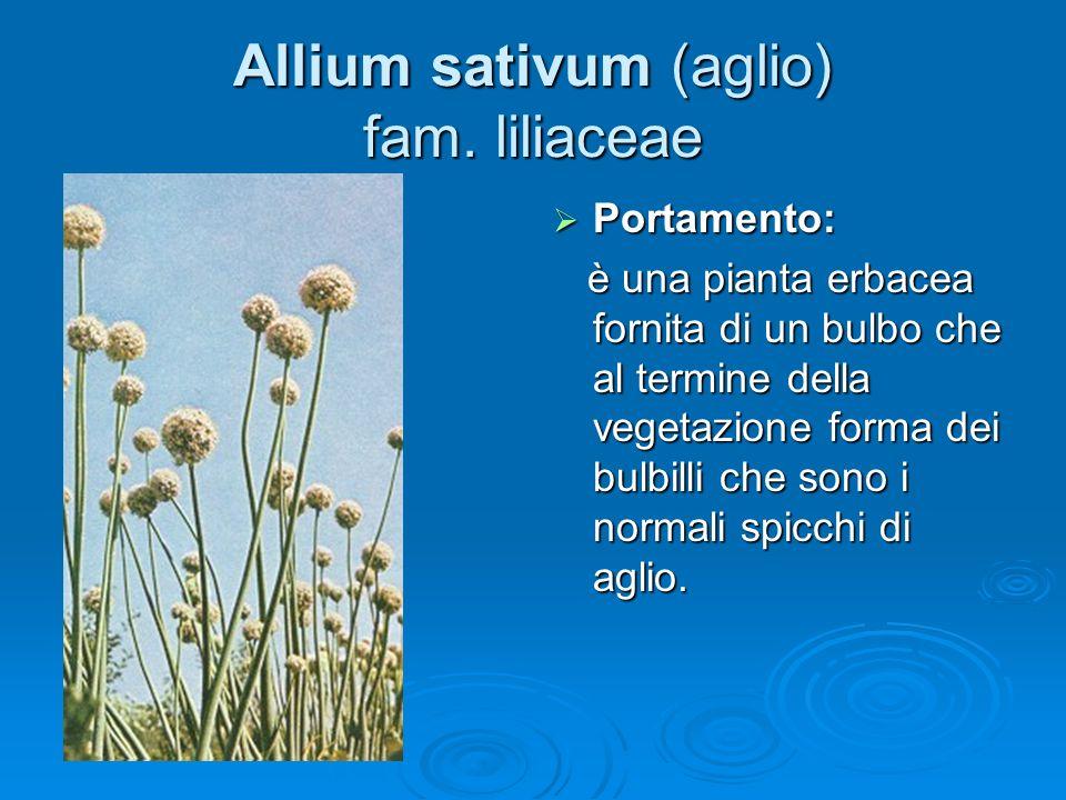 Allium sativum (aglio) fam. liliaceae