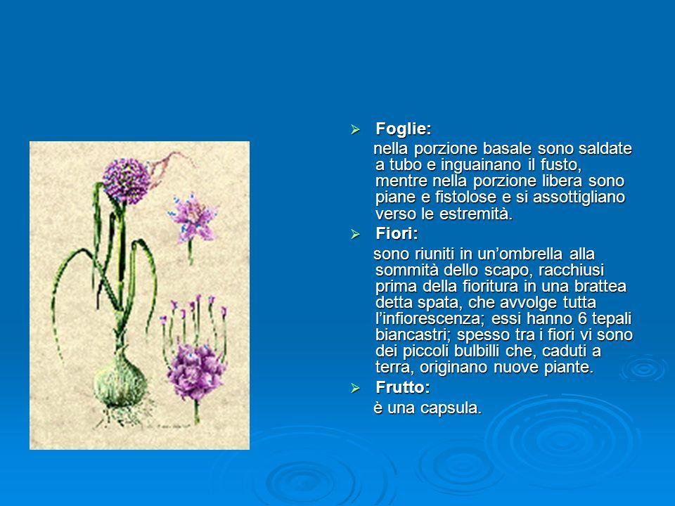 Foglie: