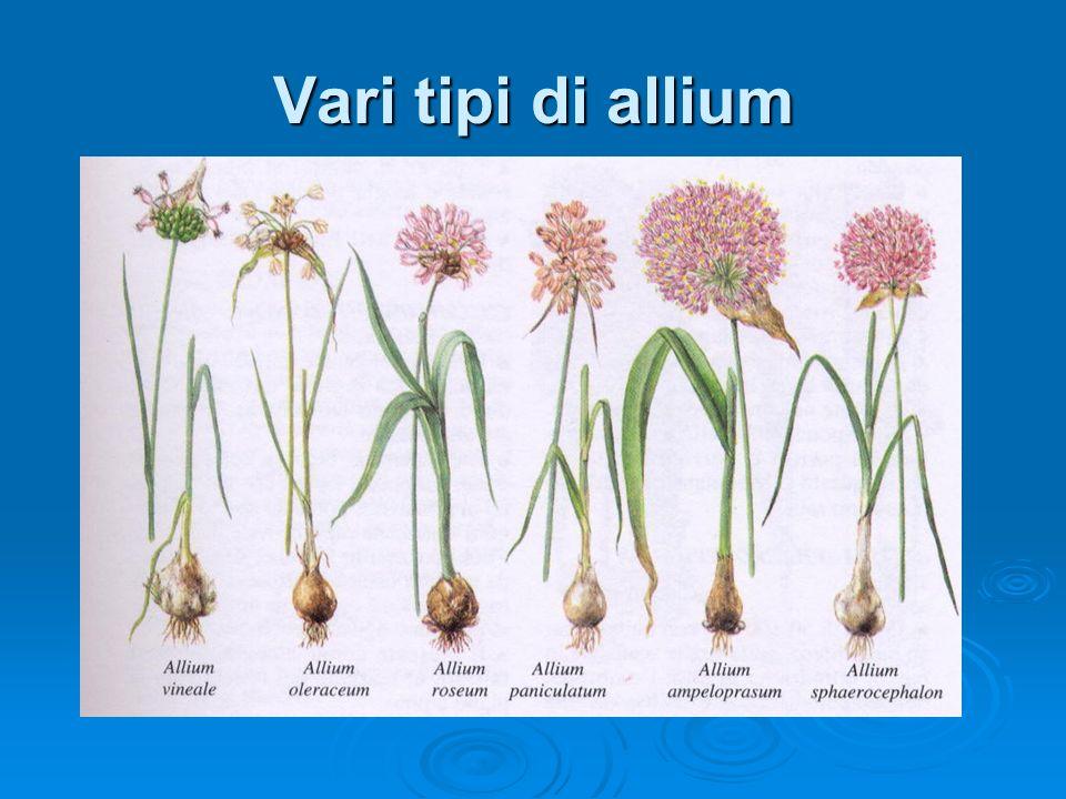 Vari tipi di allium
