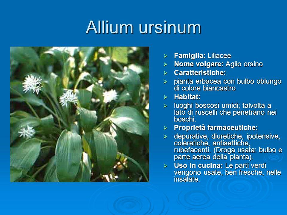 Allium ursinum Famiglia: Liliacee Nome volgare: Aglio orsino
