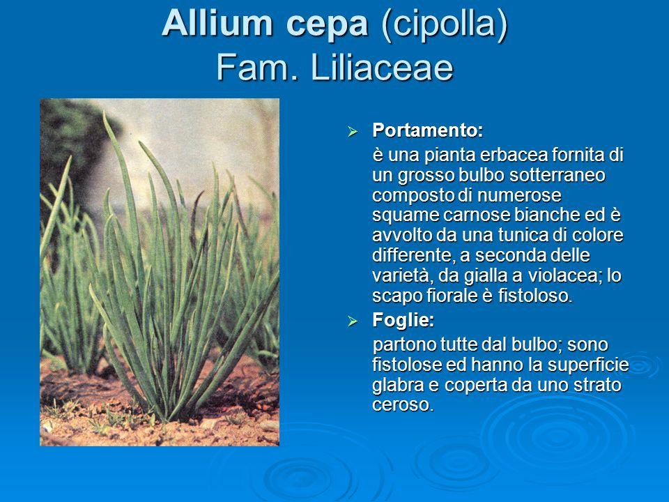 Allium cepa (cipolla) Fam. Liliaceae