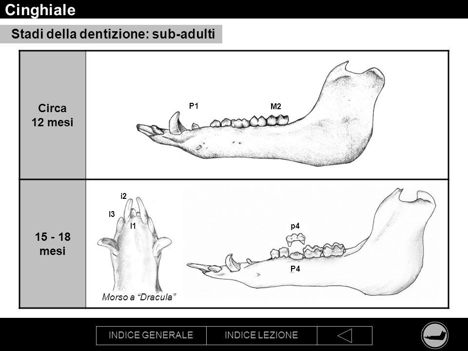 Cinghiale Stadi della dentizione: sub-adulti Circa 12 mesi