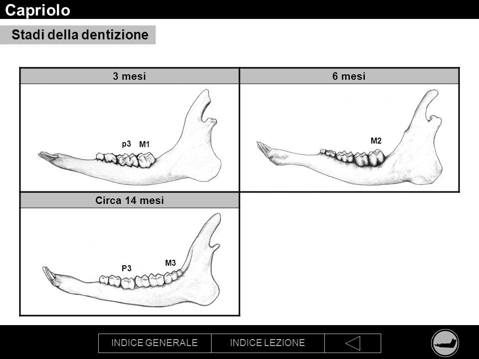 Capriolo Stadi della dentizione 3 mesi 6 mesi Circa 14 mesi M2 p3 M1