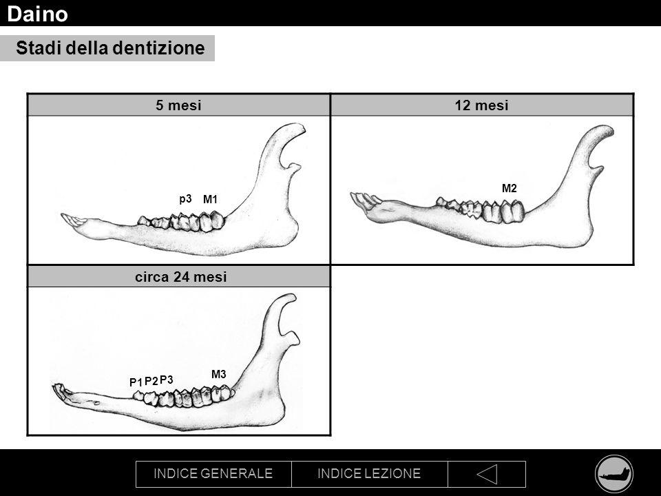 Daino Stadi della dentizione 5 mesi 12 mesi circa 24 mesi M2 p3 M1 M3