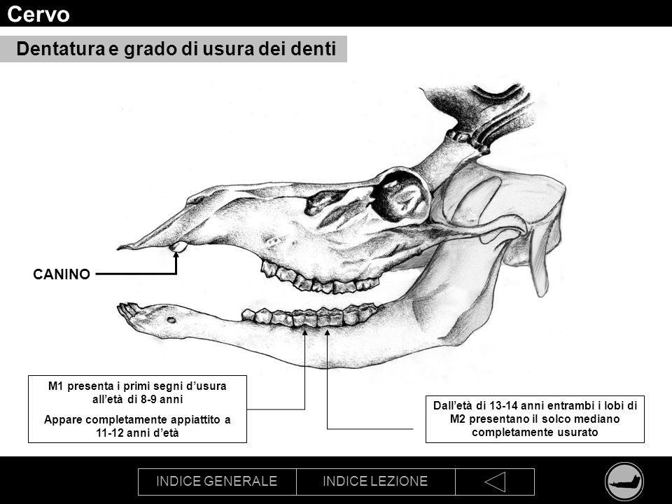 Cervo Dentatura e grado di usura dei denti CANINO