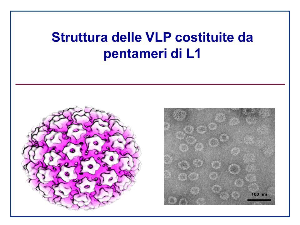 Struttura delle VLP costituite da pentameri di L1