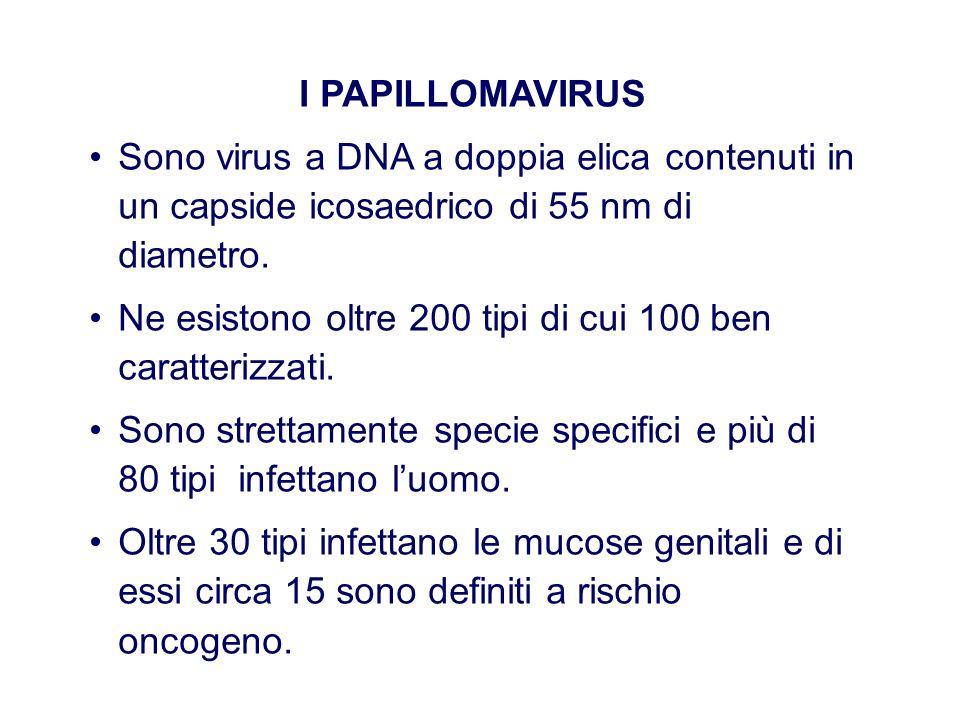 I PAPILLOMAVIRUS Sono virus a DNA a doppia elica contenuti in un capside icosaedrico di 55 nm di diametro.