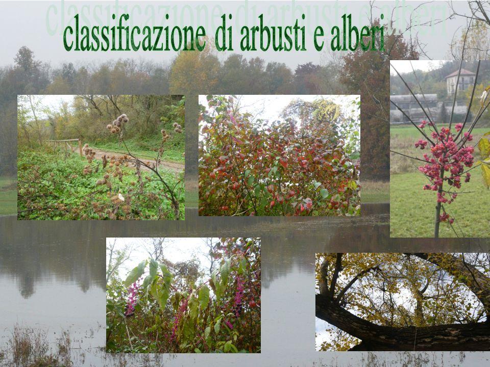 classificazione di arbusti e alberi