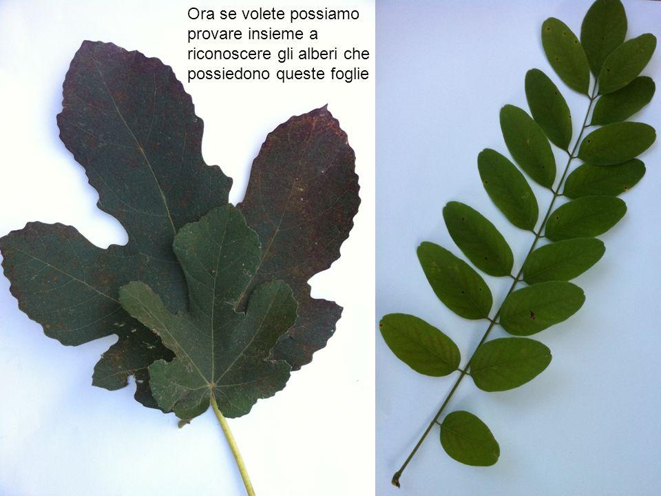 Ora se volete possiamo provare insieme a riconoscere gli alberi che possiedono queste foglie