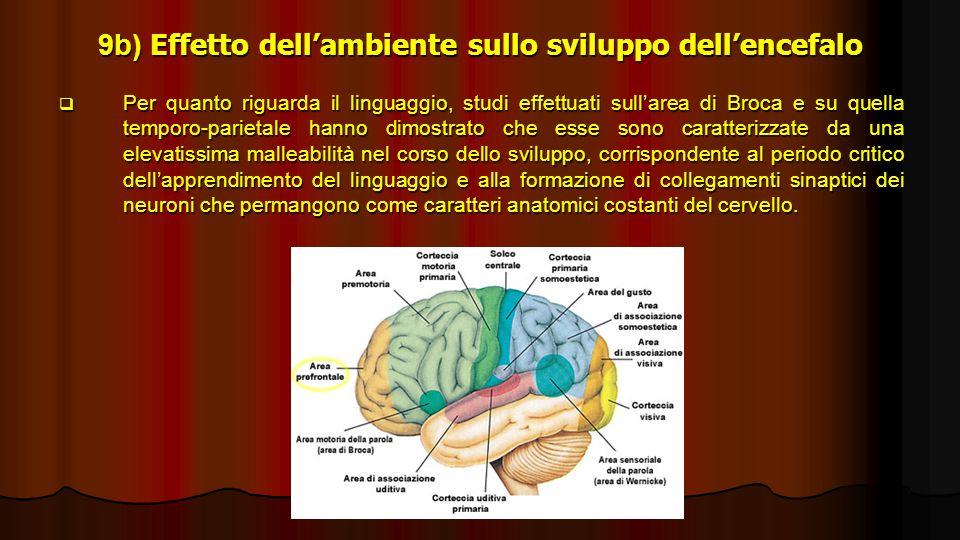9b) Effetto dell'ambiente sullo sviluppo dell'encefalo