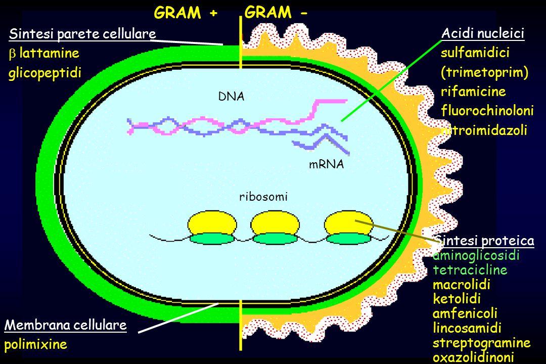 GRAM + GRAM - Sintesi parete cellulare Acidi nucleici b lattamine