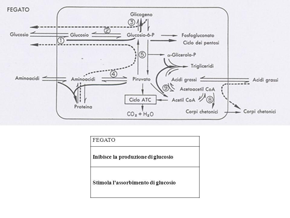 FEGATO Inibisce la produzione di glucosio Stimola l'assorbimento di glucosio