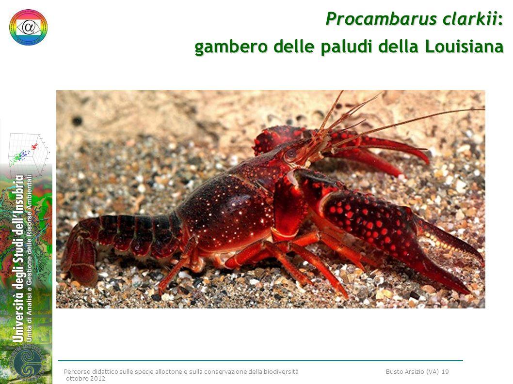 Procambarus clarkii: gambero delle paludi della Louisiana