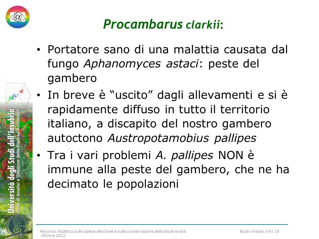 Procambarus clarkii: Portatore sano di una malattia causata dal fungo Aphanomyces astaci: peste del gambero.