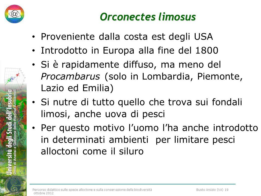 Orconectes limosus Proveniente dalla costa est degli USA