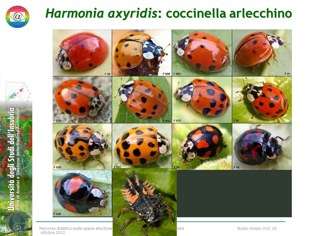 Harmonia axyridis: coccinella arlecchino