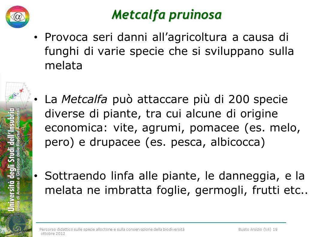 Metcalfa pruinosaProvoca seri danni all'agricoltura a causa di funghi di varie specie che si sviluppano sulla melata.
