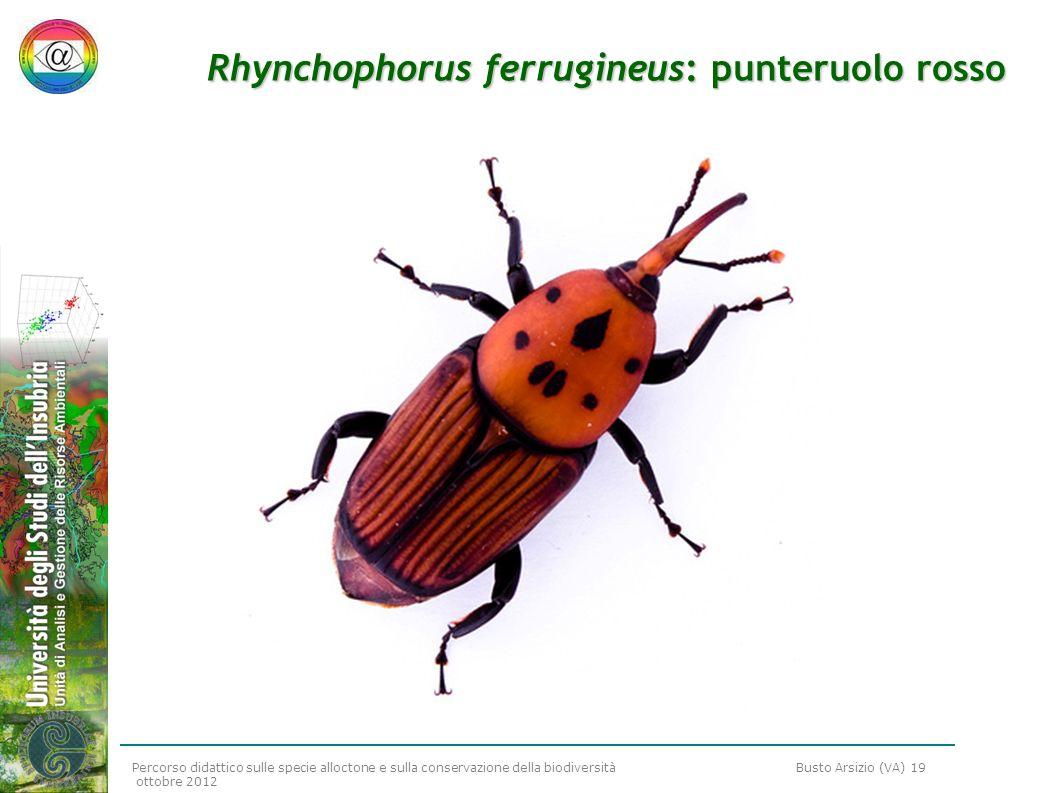 Rhynchophorus ferrugineus: punteruolo rosso