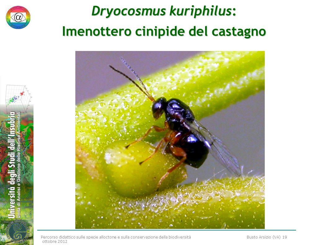 Dryocosmus kuriphilus: Imenottero cinipide del castagno