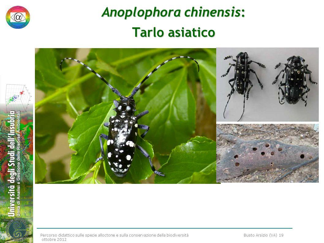 Anoplophora chinensis: Tarlo asiatico