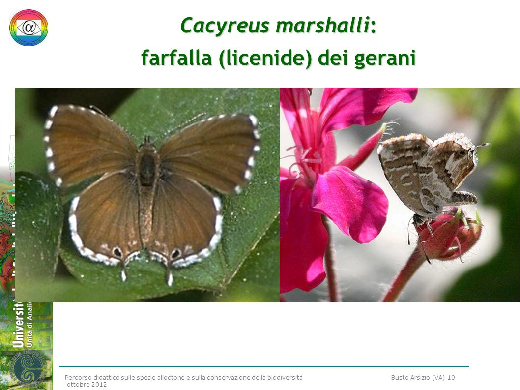 Cacyreus marshalli: farfalla (licenide) dei gerani