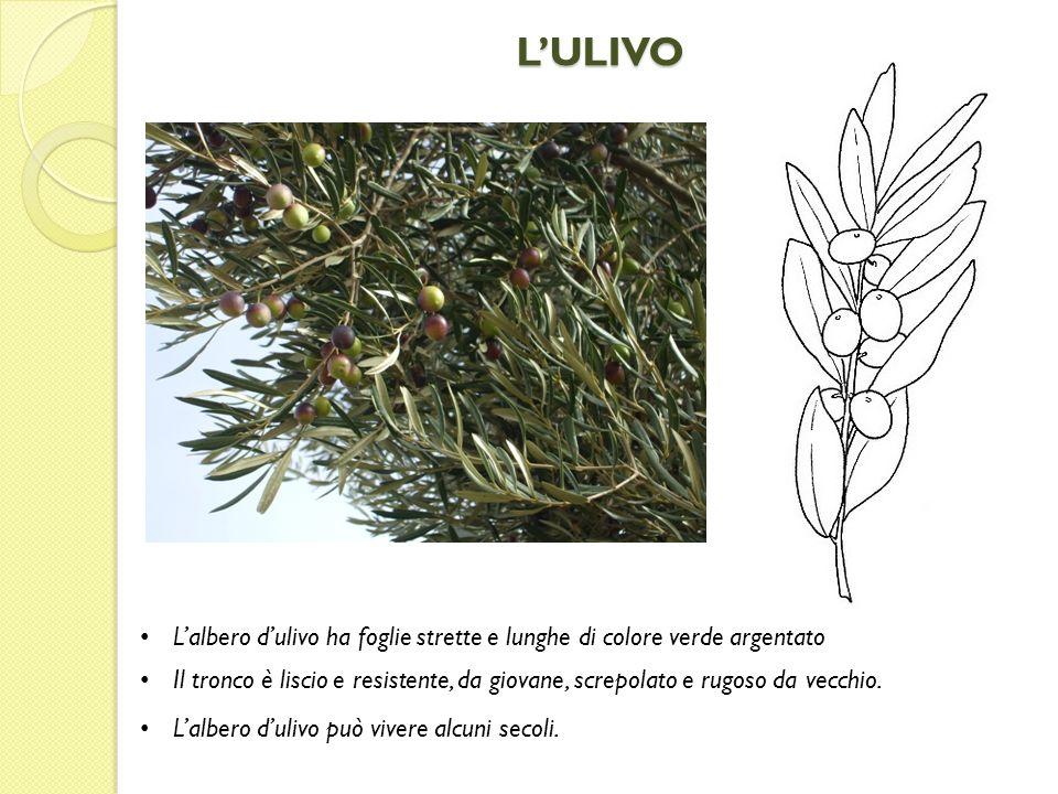 L'ULIVO L'albero d'ulivo ha foglie strette e lunghe di colore verde argentato.