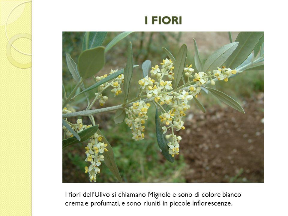 I FIORI I fiori dell'Ulivo si chiamano Mignole e sono di colore bianco crema e profumati, e sono riuniti in piccole infiorescenze.
