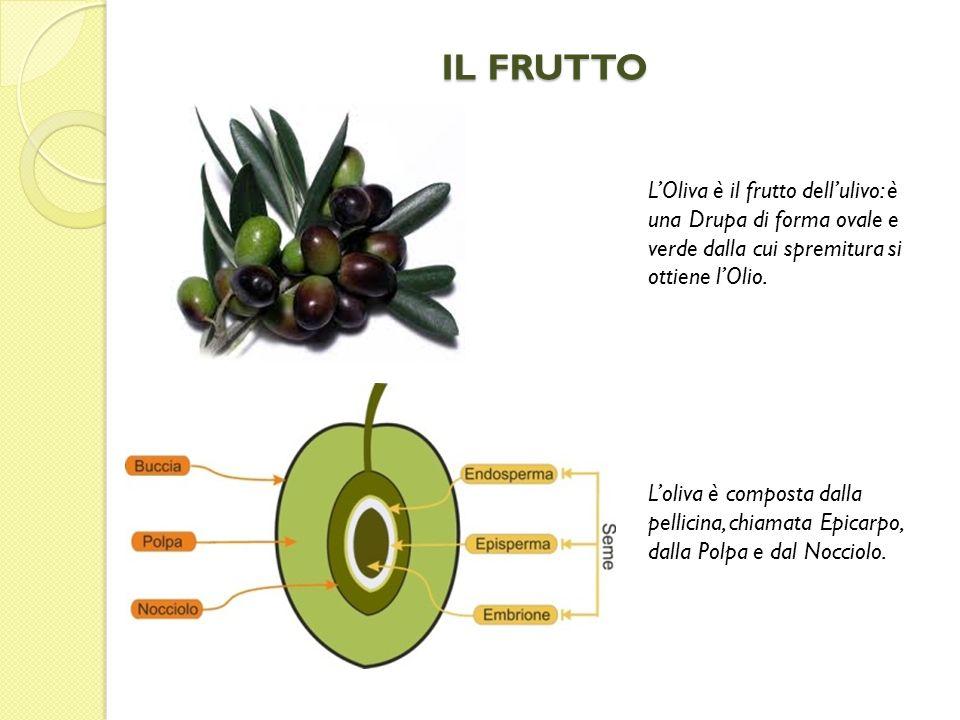 IL FRUTTO L'Oliva è il frutto dell'ulivo: è una Drupa di forma ovale e verde dalla cui spremitura si ottiene l'Olio.