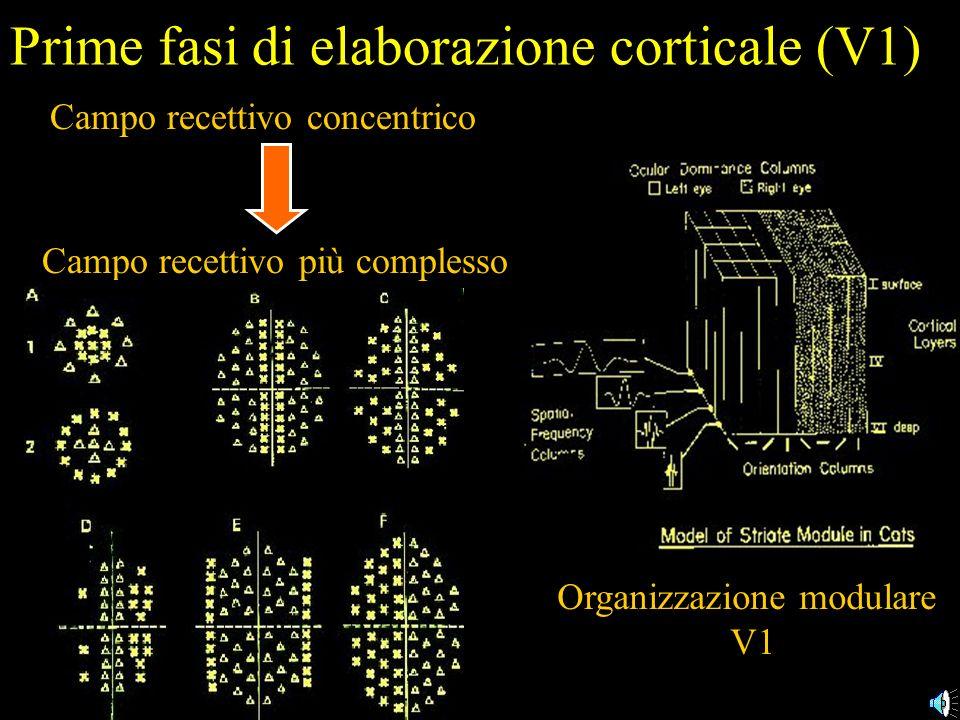 Prime fasi di elaborazione corticale (V1)