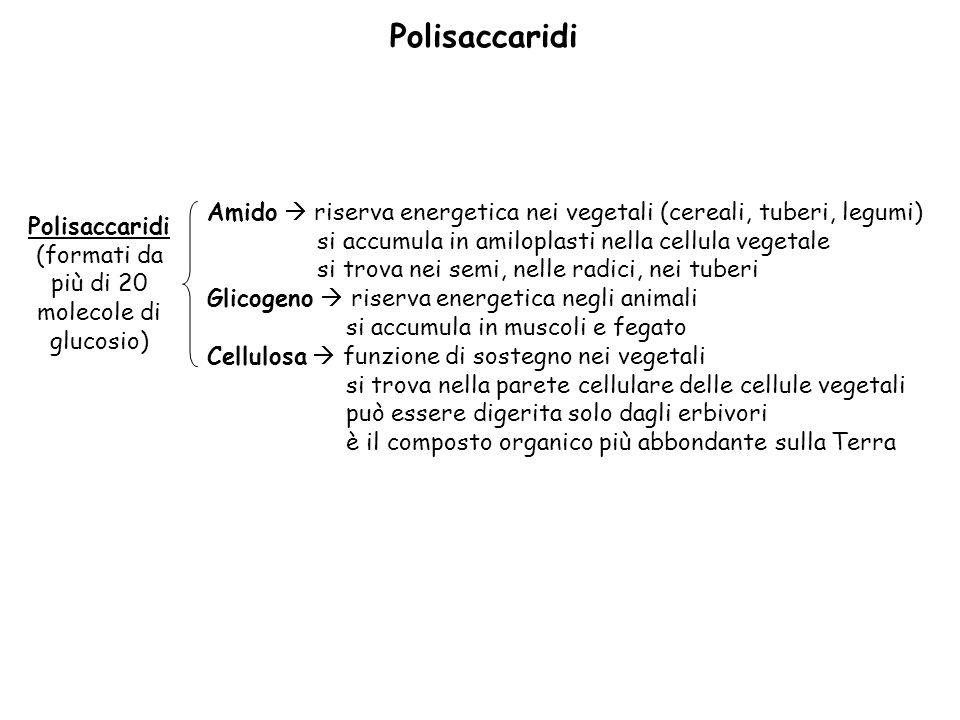 (formati da più di 20 molecole di glucosio)