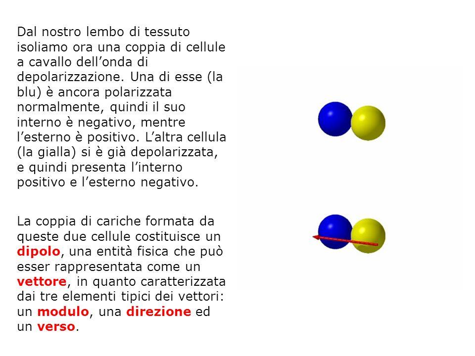 Dal nostro lembo di tessuto isoliamo ora una coppia di cellule a cavallo dell'onda di depolarizzazione. Una di esse (la blu) è ancora polarizzata normalmente, quindi il suo interno è negativo, mentre l'esterno è positivo. L'altra cellula (la gialla) si è già depolarizzata, e quindi presenta l'interno positivo e l'esterno negativo.