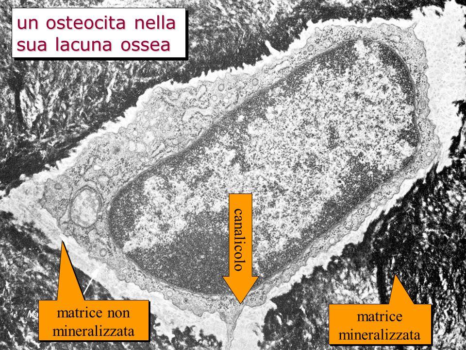 un osteocita nella sua lacuna ossea