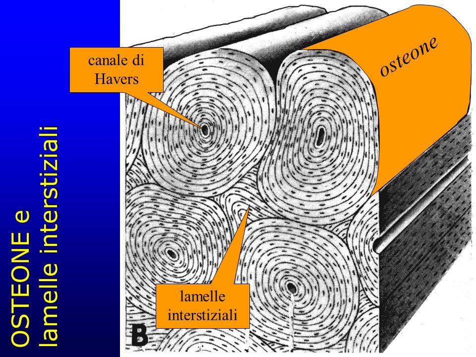 OSTEONE e lamelle interstiziali